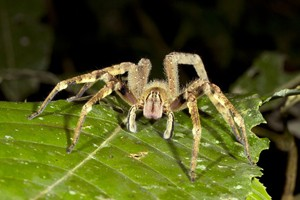 deadly-spiders-hatch-from-sainsburys-bananas_57980