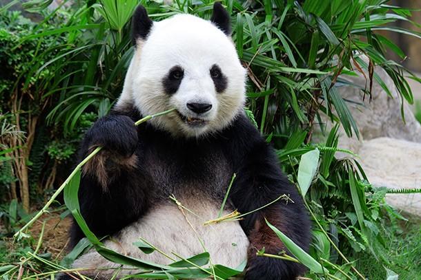 giant-panda-fakes-pregnancy-for-extra-buns_60102