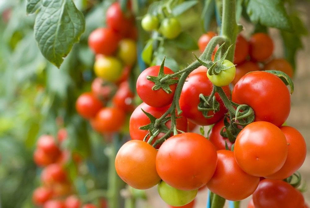 grow-your-own-this-national-tomato-week_21574