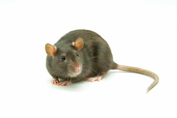 poor-rats-make-poor-mums_1513