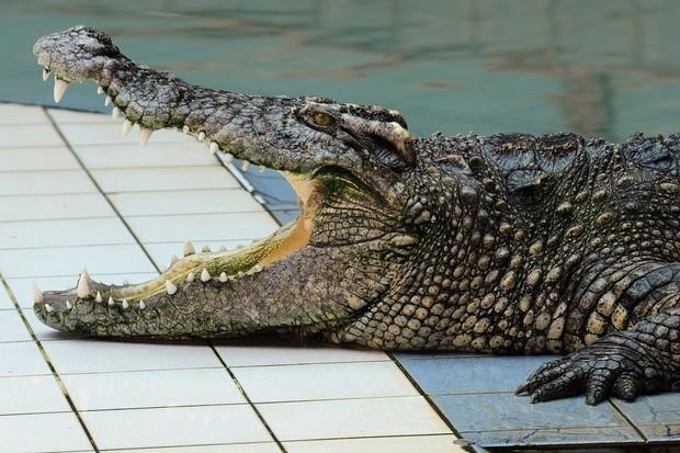 school-meals-serve-crocodile_18081