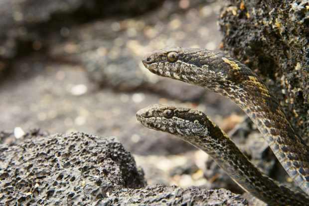 snake-v-iguana