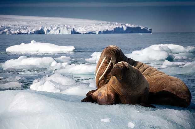 Programme Name: Blue Planet II - TX: n/a - Episode: Blue Planet II - early release (No. n/a) - Picture Shows: Walrus mother and pup resting on iceberg, Svalbard, Arctic  - (C) BBC - Photographer: Rachel Butler (TL)
