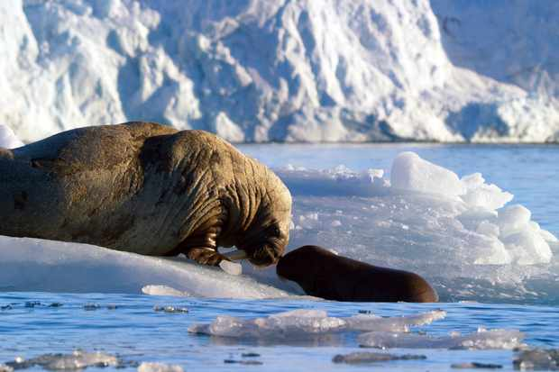 A walrus mother and calf rest on an iceberg in Svalbard, in the Arctic Circle (BBC NHU, JG)