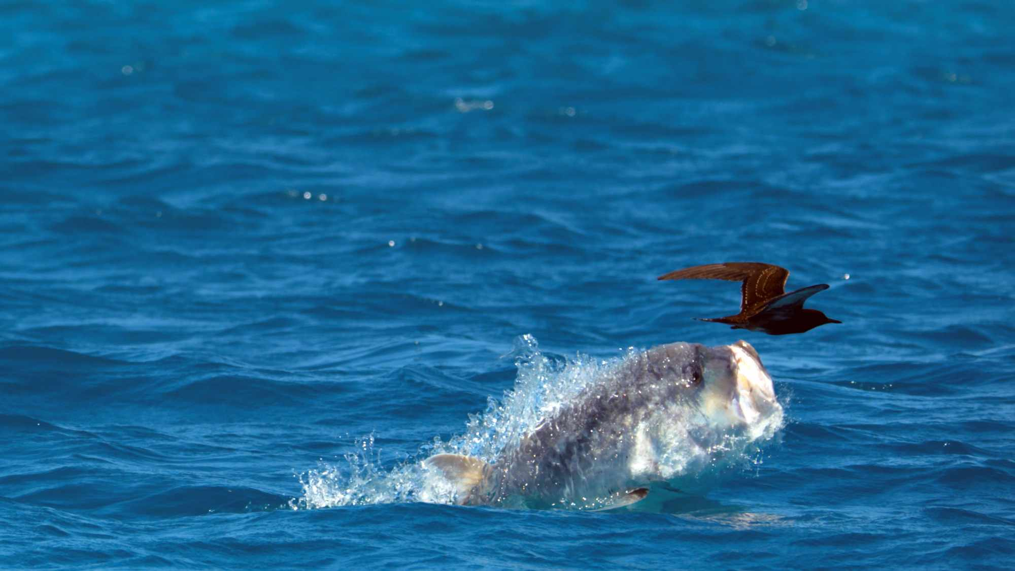 Giant Trevally fish leaps out of the water to catch sooty tern birds as they fly overhead (BBC NHU, JG)