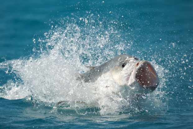 Giant Trevally tries to catch a flying bird in Blue Planet II (BBC NHU, JG)