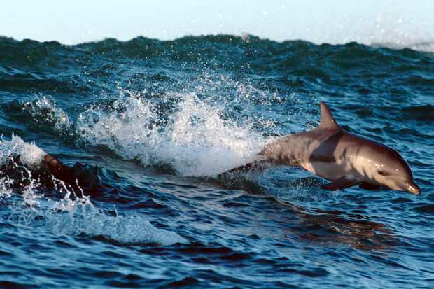 Surfing bottlenose dolphins on the Wild Coast in South Africa (BBC NHU, JG)
