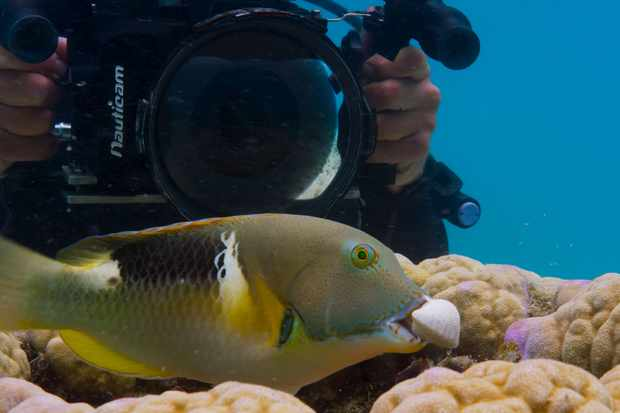 An orange dotted tuskfish (Choerodon anchorago) on the Great Barrier Reef (BBC NHU, JG)