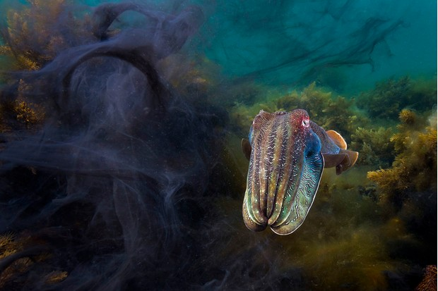 A giant cuttlefish (Sepia apama), one of thousands that gather for an annual mating aggregation each winter (BBC, JG)