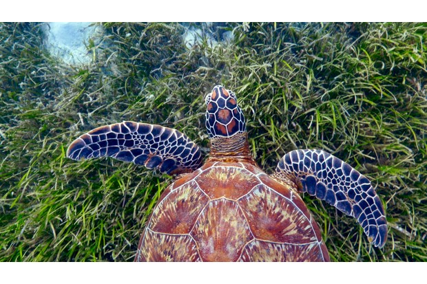 A green turtle (Chelonia mydas) swimming over seagrass in tropical waters off Green Island, Australia (BBC, JG)