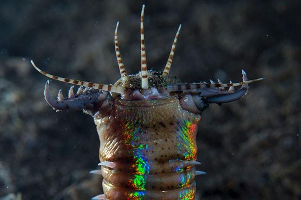 bobbit-worm