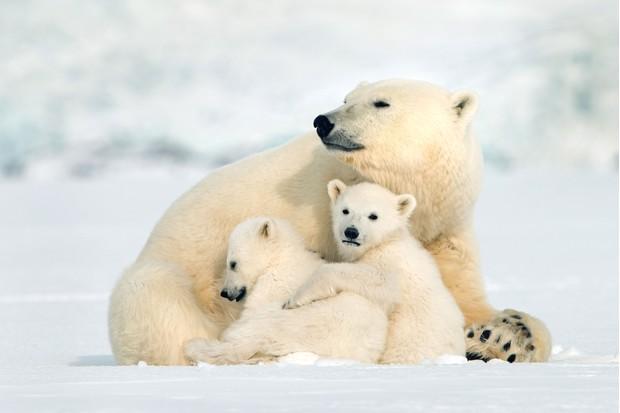 Snow Bears (BBC, EH)