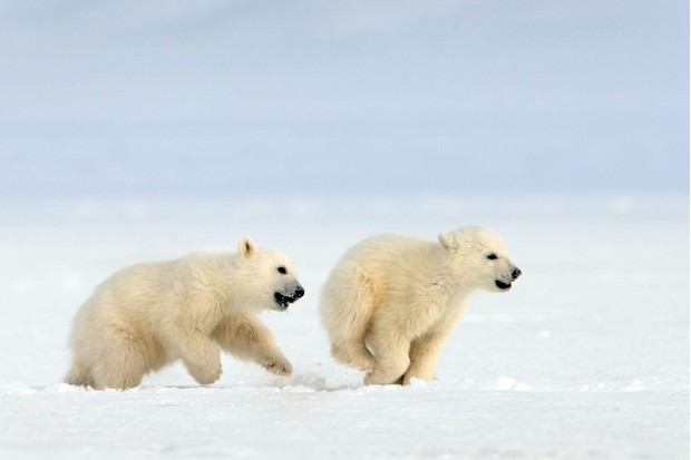 Snow Bears (BBCPictures,mh)