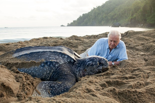 WARNING: Embargoed for publication until 00:00:01 on 02/12/2017 - Programme Name: Blue Planet II - TX: 10/12/2017 - Episode: n/a (No. n/a) - Picture Shows: The leatherback turtle (Dermochelys coriacea). Weighing over half a ton, it is largest turtle on the planet but globally, its numbers have fallen catastrophically. Sir David Attenborough travels to Trinidad to meet a remarkable community that are trying to save these iconic giants. Sir David Attenborough, Leatherback turtle - (C) Gavin Thurston - Photographer: Gavin Thurston