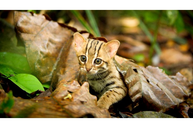 The rusty spotted cat in Sri Lanka is the world's smallest cat (BBC, JG)