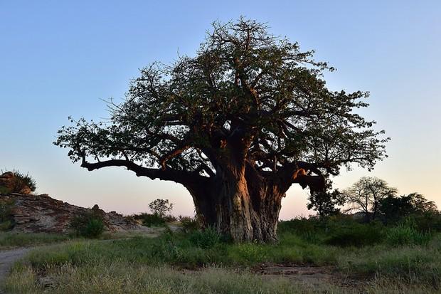 Baobab tree, Limpopo