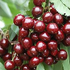 10 Cherry Bush Porthos