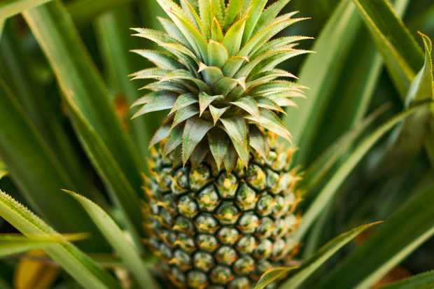 Organic green pineapple  fruits for agriculture background.  Concept for sustainability agriculture and healthy eating lifestyle. Fruit or food concept, environment concept.