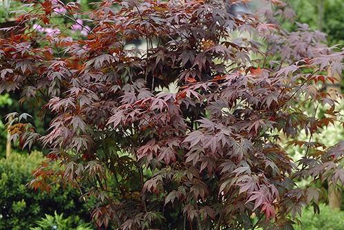 Acer atropurperum