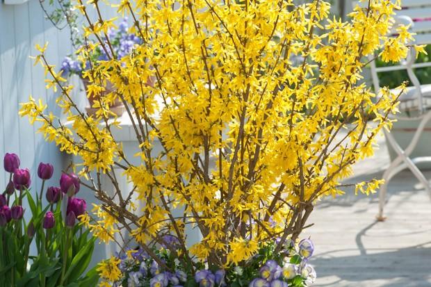 Forsythia 'Lynwood' underplanted Viola cornuta 'Etain' in white pot