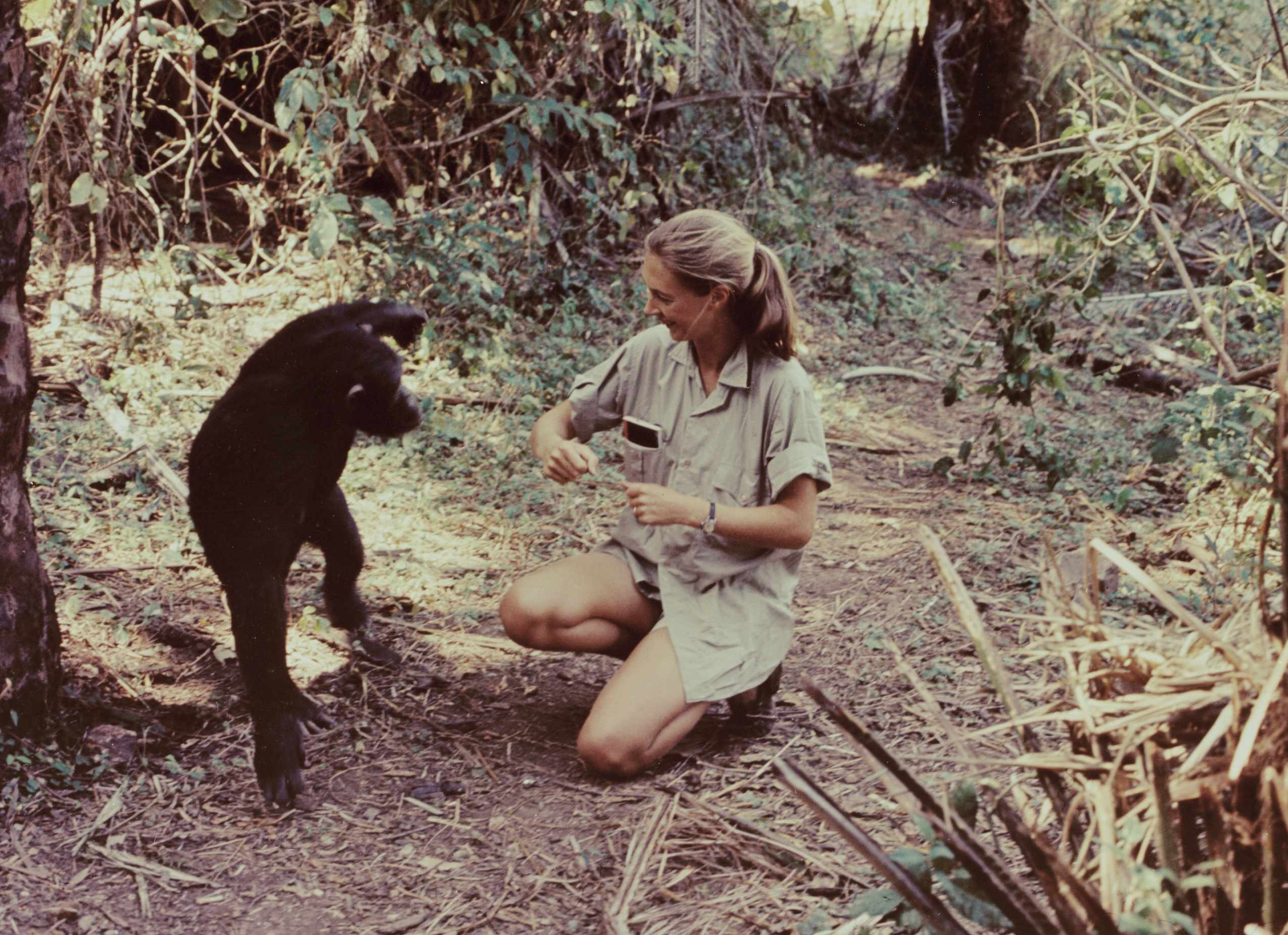 """Jane Goodall in the television special """"Miss Goodall and the World of Chimpanzees"""" originally broadcast 1965"""