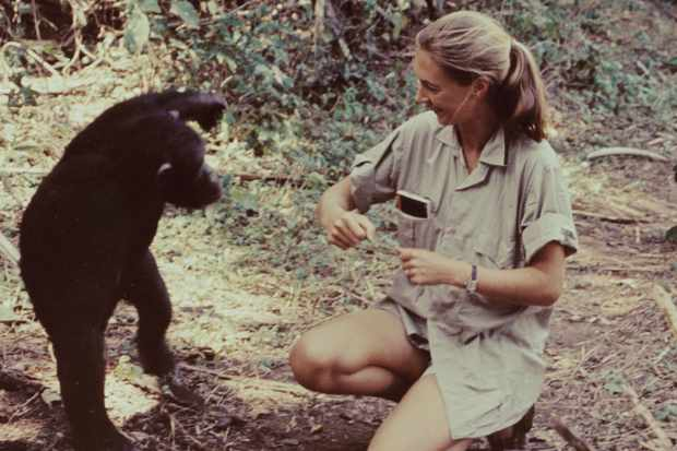 "Jane Goodall in the television special ""Miss Goodall and the World of Chimpanzees"" originally broadcast 1965"