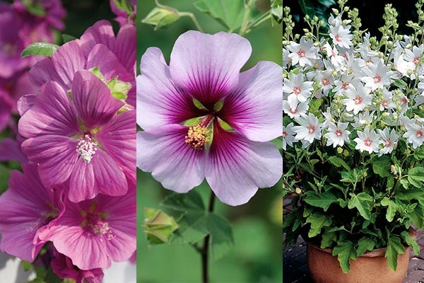 lavatera collection