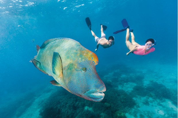 A humphead wrasse