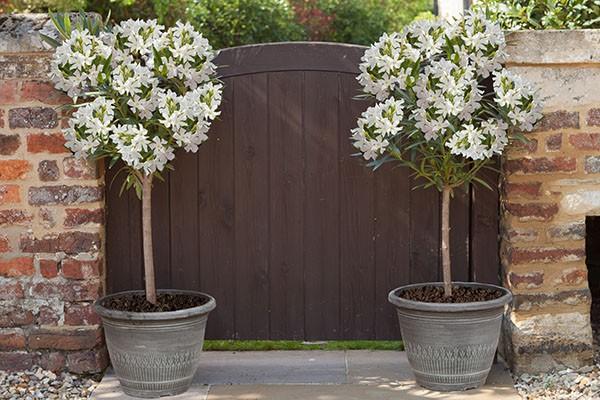 Oleander Standards New White
