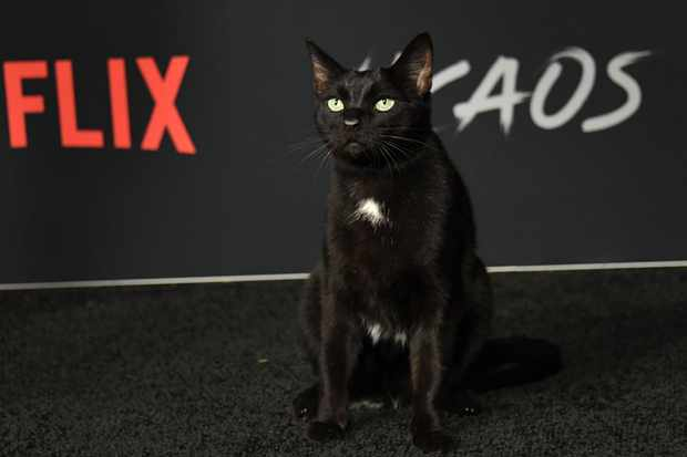 The cat who is part of the cast arrives at the Season 1 Netflix's Chilling Adventures of Sabrina Premiere at the Hollywood Athletic Club on October 19, 2019 in Hollywood. (Photo by Valerie Macon / AFP)        (Photo credit should read VALERIE MACON/AFP/Getty Images)