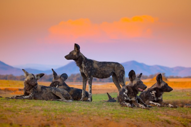 Dynasties, Painted Wolves (BBC)