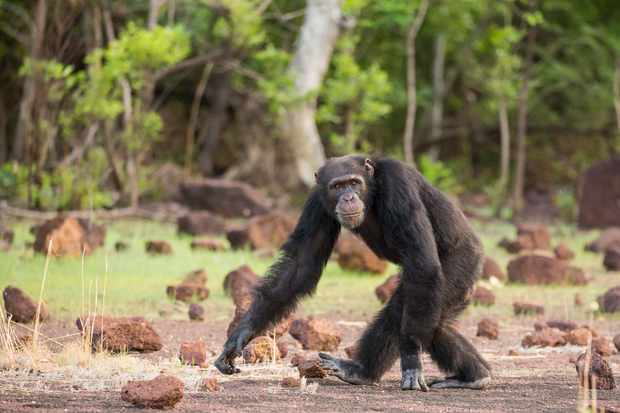 Programme Name: Dynasties - TX: n/a - Episode: Dynasties - Chimp (No. 1) - Picture Shows: An ambitious rival with an eye on David's alpha position.Senegal, West Africa. Luthor - (C) Mark MacEwen - Photographer: Mark MacEwen