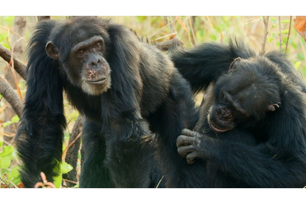 WARNING: Embargoed for publication until 00:00:01 on 04/11/2018 - Programme Name: Dynasties - TX: n/a - Episode: Dynasties - Chimp (No. 1) - Picture Shows: **IMAGE STRICTLY EMBARGOED UNTIL SUNDAY 4TH NOVEMBER 2018** Grooming is a way of making social bonds in chimp society. Senegal, West Africa. - (C) BBC NHU - Photographer: BBC NHU
