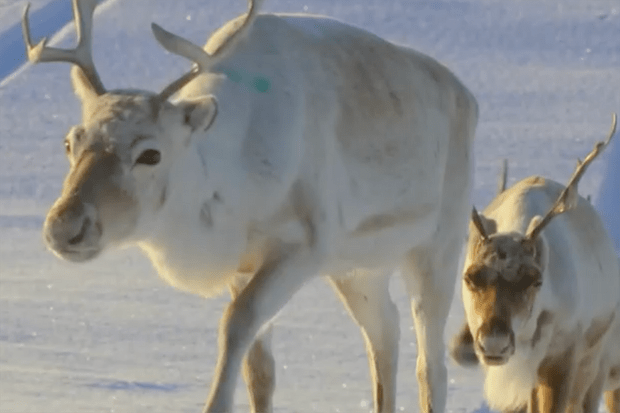 All Aboard! The Great Reindeer Migration still (BBC)