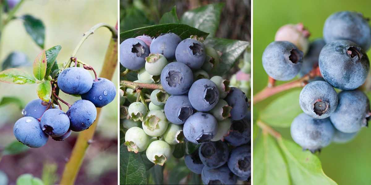 Blueberry trio offer