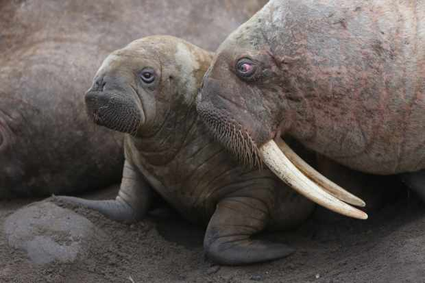 A female walrus tenderly reassures her young pup as they try to find a place to rest on an overcrowded beach. Over 100,000 Pacific walrus gather together along a small stretch of Russian coastline. It is the largest gathering of walrus on the planet.