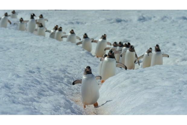 Gentoo penguins in Our Planet (Netflix)