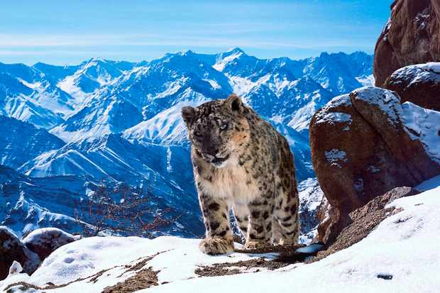 There are may be as few as 3500 snow leopards left in the wild. They are famously illusive and difficult to film and have become increasingly threatened by climate change and human disturbance.