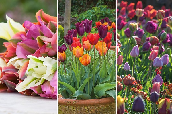 Sarah Raven 3 Tulip collections
