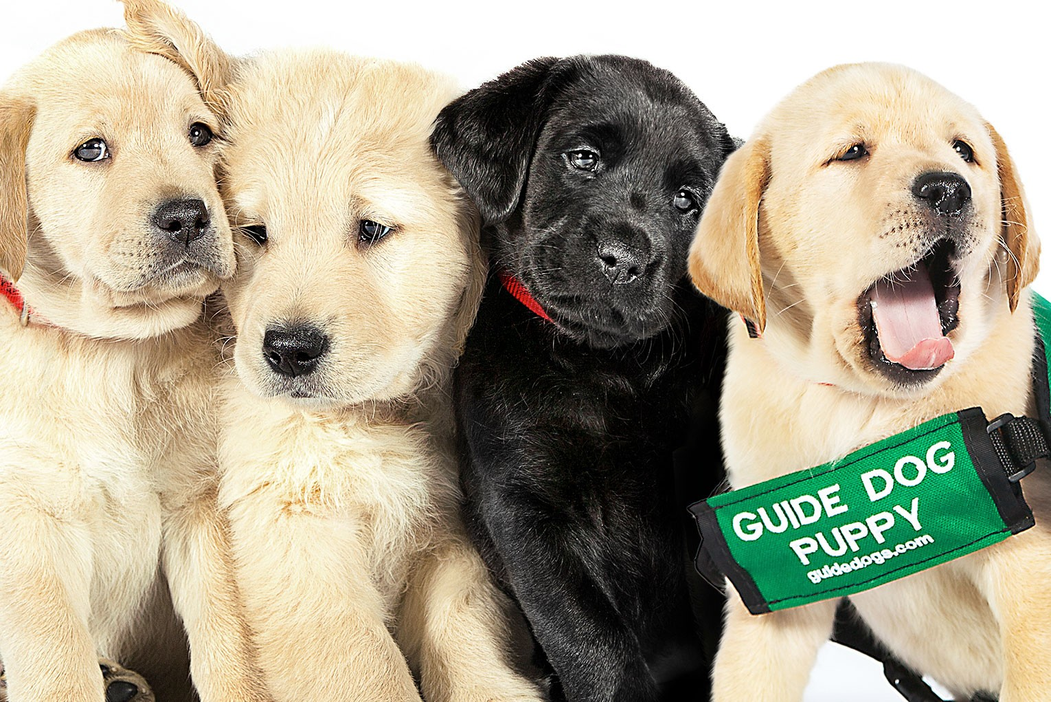 guide-dog-puppies