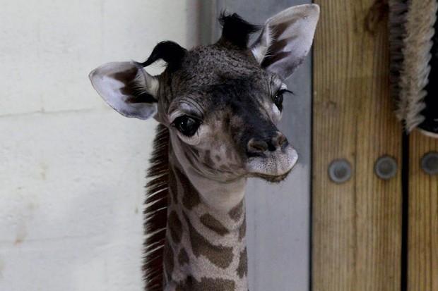 Disney's Masai giraffe