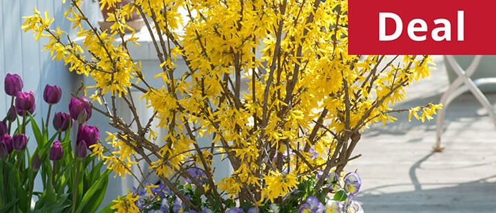Forsythia x intermedia 'Mini Gold' (Dwarf)