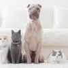 Shar pei dog, british shorthair and scottish fold cats sitting in a row