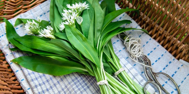Bunches of wild garlic in a basket, with scissors and string