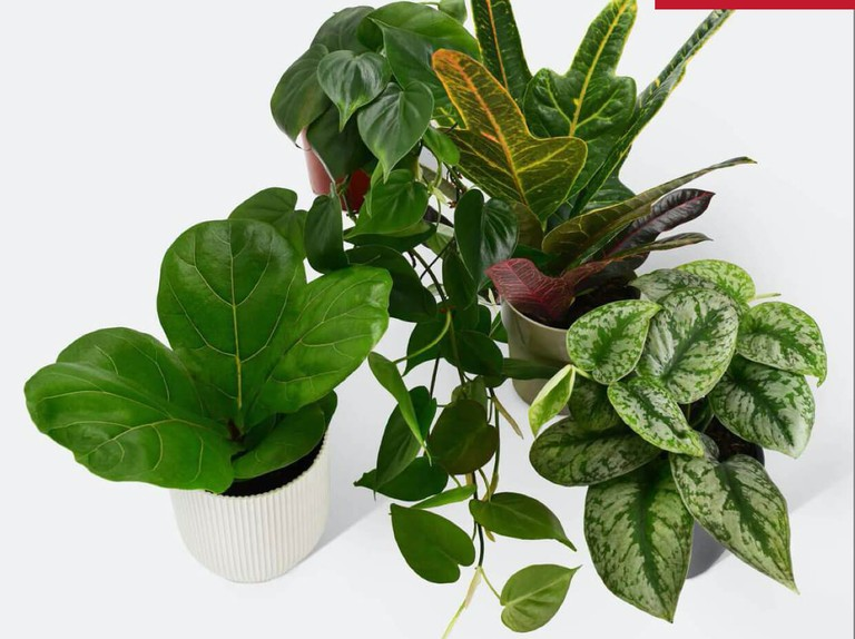 Enjoy £10 off a curated house plant pack!