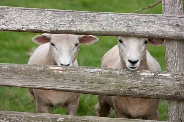 Even the sheep are super friendly