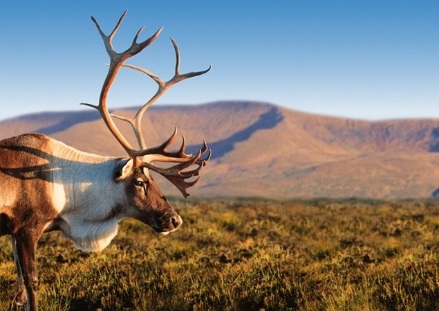 Photo by Cairngorm Reindeer Centre