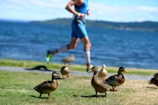 Some ducks watching Ironman New Zealand