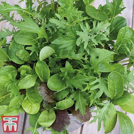Salad Leaves 'Cut 'n' Come Again'- Kew Collection Seeds, Thompson & Morgan