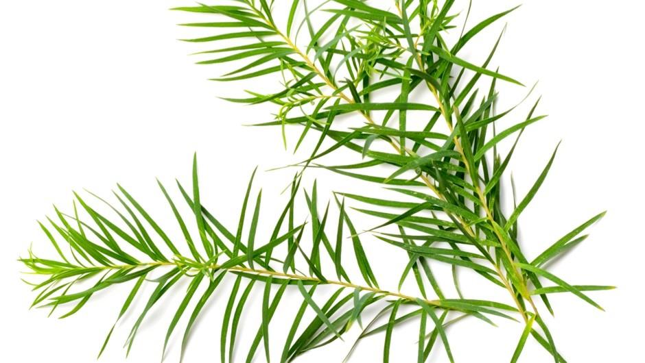 Can tea tree oil disrupt hormones? © Getty Images